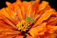 Garden Spider on Zinnia