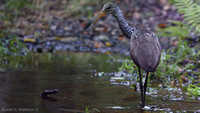 Limpkin at Dawn