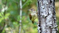 Carolina Wren on Pine