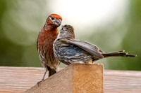 House Finch w Fledgling