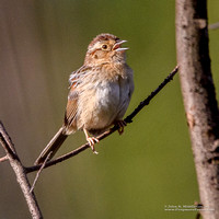Bachman's Sparrow Singing