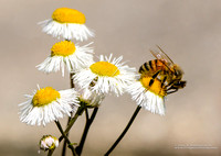 Honeybee on Fleabane