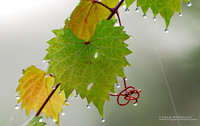 Grape Leaves and Dew