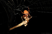 Orb Weaver with Prey