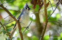 Tufted Titmouse Singing