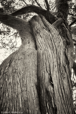 Red Cedar at Fort George Island, FL